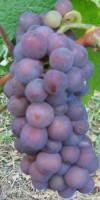 Rebstock Weintraube gelb Grauburgunder