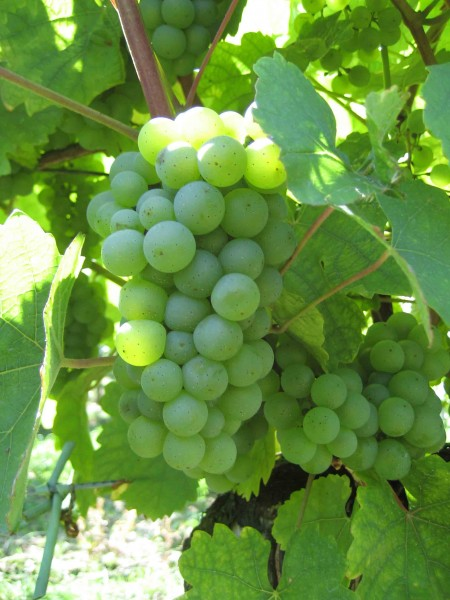 Rebstock Weintrauben gelb Riesling