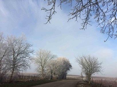 Winterliche Reben