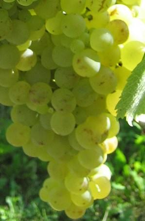 Weintraube gelb pilzresistent Johanniter