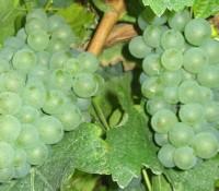 Rebstock Weintraube gelb Chardonnay