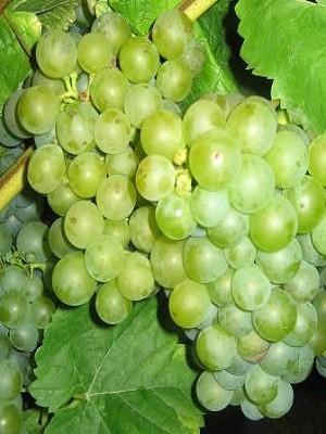 Rebstock Weintrauben gelb Morio Muskat