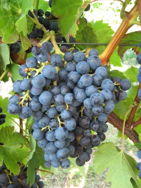 Rebstock Weintrauben blau Merlot