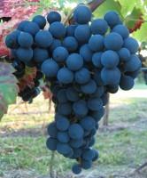 Rebstock pilzresistent Weintraube blau Regent