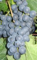 Rebstock Weintraube blau Dornfelder