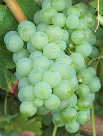 Rebstock Weintraube gelb Sauvignon Blanc