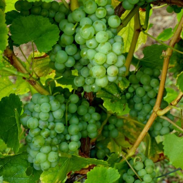 Weintraube gelb Müller Thurgau