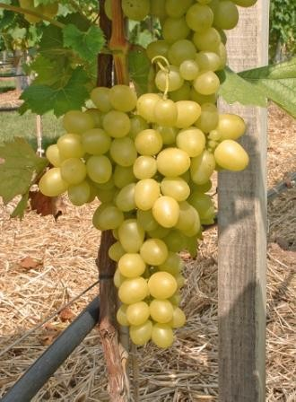 Rebstock Weintrauben gelb Solaris