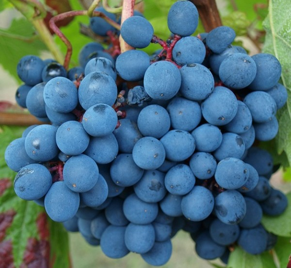 Weintraube blau Dunkelfelder