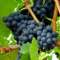 Rebstock Weintraube blau Blauer Spätburgunder