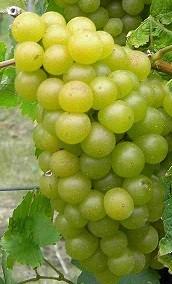 Weintraube gelb Morio Muskat