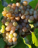 Rebstock Weintraube gelb Gewürztraminer