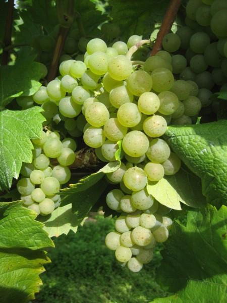 Rebstock Weintrauben gelb Ortega