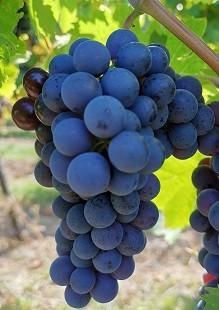 Weintraube blau Trollinger