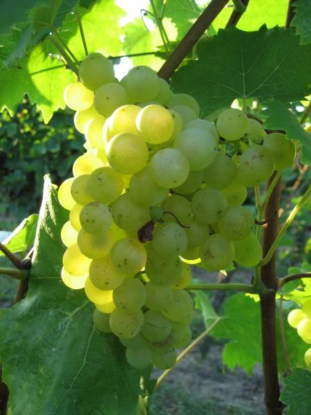 Weintraube gelb Phönix